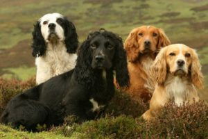 Group of working cocker spaniels
