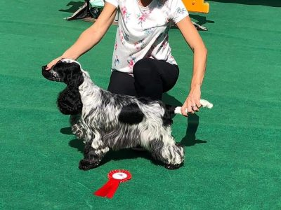 Havanna Classic - Gibraltar International GCC (Cocker Spaniel)