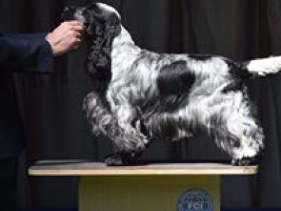 Havanna Classic Malta International (Cocker Spaniel)