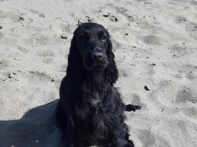 Janna - beach (Cocker Spaniel)