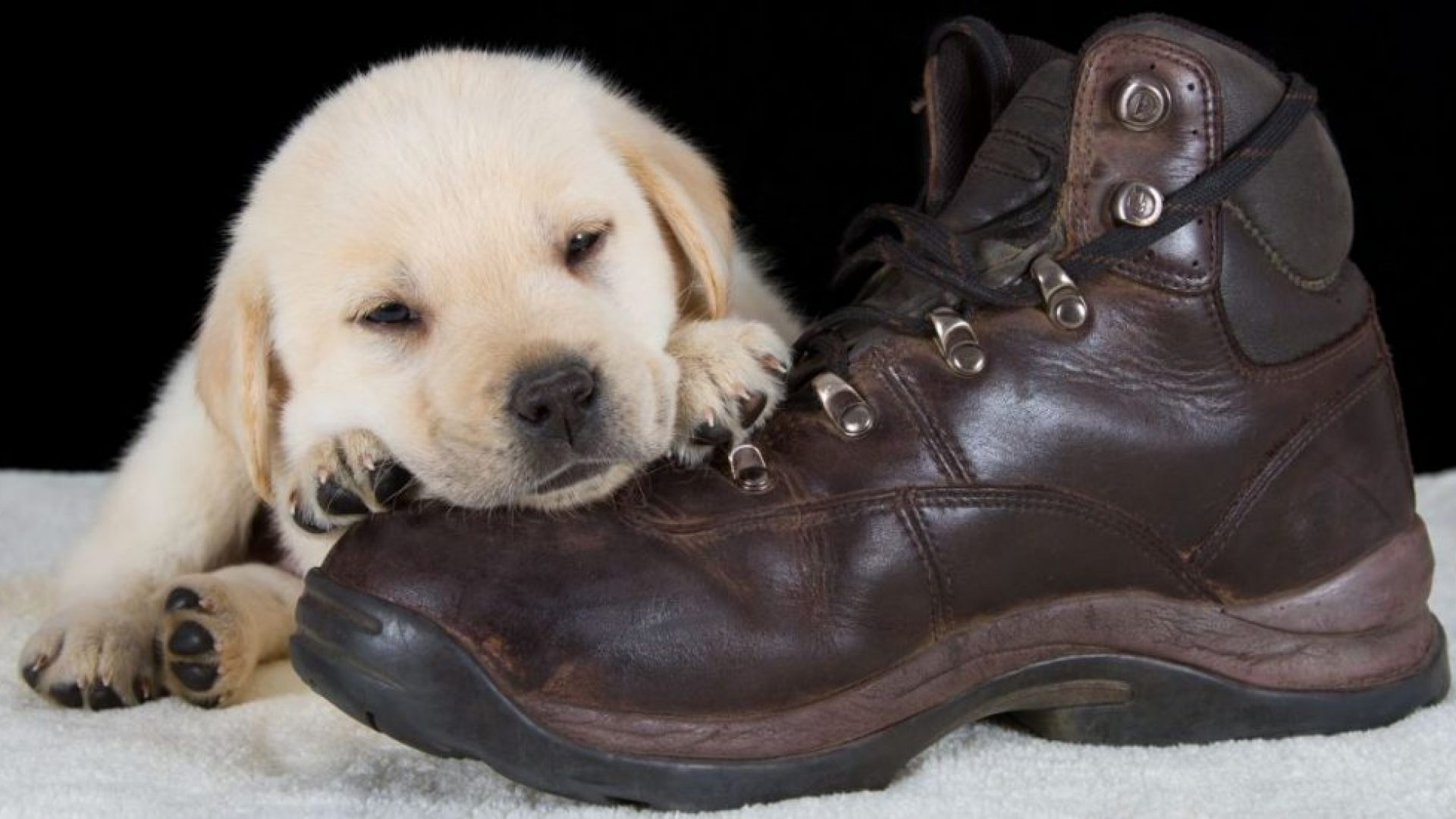 why do puppies chew