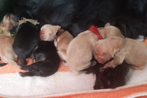 Harrenhal English Solid colour Cocker Spaniel puppies Spain 3 days old